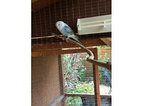 Pretty Baby Budgie for sale