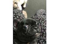 French Bulldog frenchbulldog puppy puppies