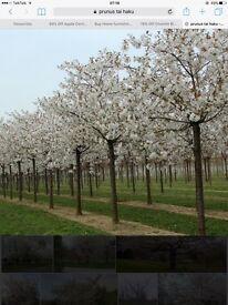 Ornamental Cherry Trees - Prunus 'Tai Haku'