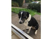 Male Black and White Collie