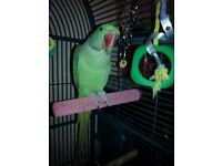 Alexandrine parrot and cage + parrot play stand for sale