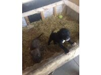 Cane Corso pups for sale