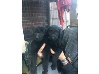 Labradoodle/lurcher puppies
