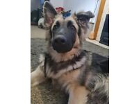 8 month old german shepherd