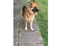 German Shepherd 4 Years Old