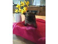 Pomeranian x chihuahua pup