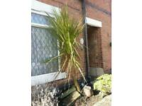7to8 foot yucca plant