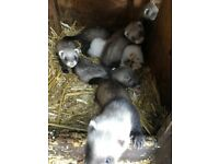 Baby ferrets mixed colours males and females