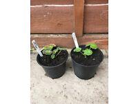 2 large pots of Geraniums (mixed)