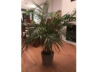 Large indoor Palm plant - PRICE REDUCED!! MUST GO!!