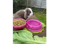 Baby mini lop rabbit (doe) ready 18 September