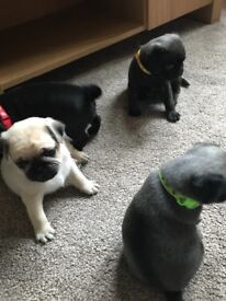 7/8th pug puppies
