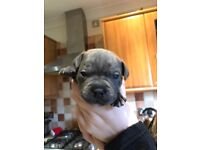 Blue Staffordshire bull terrier puppies