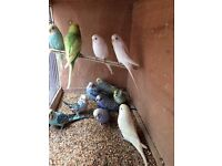 Beautiful Baby Budgies and adults