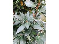 Bay tree 10 ft approximately