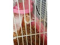 2 x hamsters with seperate cages