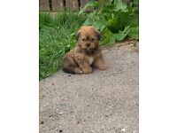 Beautiful Shorkie pups for sale