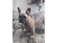Last two blue fawn French Bulldogs KC registered