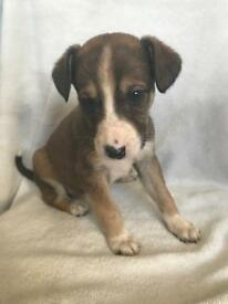 1 boy lurcher puppy left