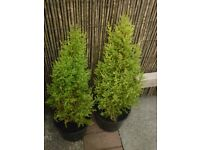 2 bushy goldcrest conifer trees,lemon scented