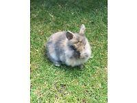 10 week old rabbit