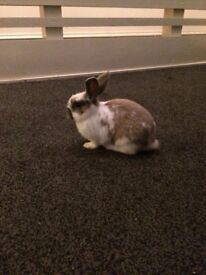 Very Cute Baby Rabbit For Sale