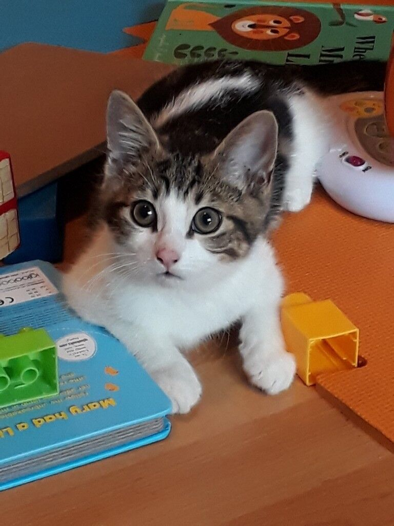 *ON HOLD * Tabby/Turkish Angora mix male kitten 17wks old ...