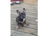 Blue and tan French bulldog girl 4 months old