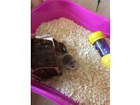 Roborvski dwarf hamsters