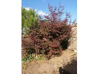Mature Acer tree