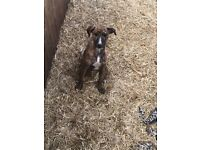 Beautiful brindle lurcher puppies for sale