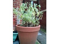Lavender Herb Plant, 3L size, will have purple flowers that the bees & wildlife love
