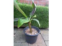 PENDING COLLECTION Musa Tropicana (Dwarf banana plant)