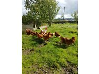Laying pullets for sale