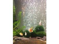 Baby Goldfish Lovingly Raised
