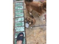 Tibetan spaniel puppies ( only one girl left)
