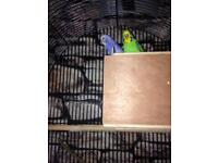 Male and female. Budgie