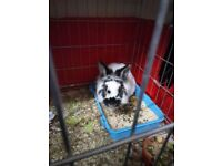 3 year old male rabbit needs new home