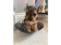 Yorkshire terrier boy puppy