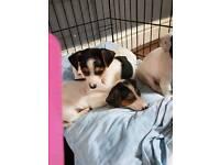 5 miniature Jack Russell puppys