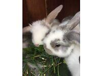 Child friendly Mini Lop rabbits £25