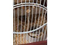Female Dwarf Hamsters