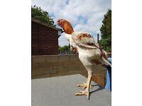 Big shamo chickens for sale