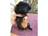 Boy guinea pigs