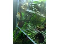 Pond Koi fish for sale and tropical fish to
