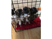 Chihuahua puppies Stunning 9 weeks old... looking for a Home full of love! ❤️
