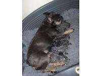 Litter of 8 gorgeous french bulldog puppies for sale!