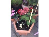 Hydrangea Hortensia (plant)