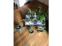 Houseplants: spider plants and aloe Vera in ceramic pots. Prices £6 to £10. collect Chichester