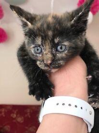 9 week kittens for sale